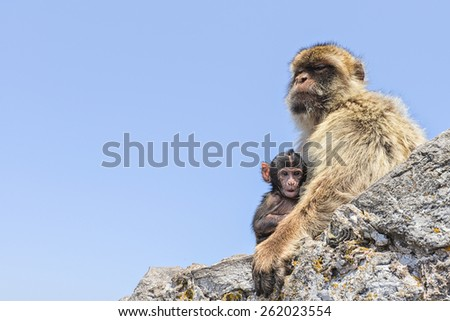 Gibraltar Macaque mother protectively holding little one and making sure no harm came to her baby/ Macaque mother and her baby/ Gibraltar,Europe - stock photo