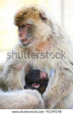 Gibraltar Monkeys or Barbary Macaques are considered by many to be the top tourist attraction in Gibraltar. Female monkeys with youth in her arms.