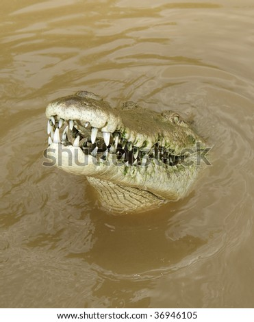 gigantic american crocodile showing large number of teeth, costa rica - stock photo