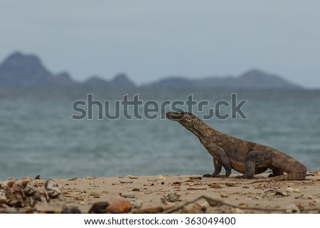 Gigantic komodo dragon in the beautiful nature habitat on a beautiful island in Indonesia