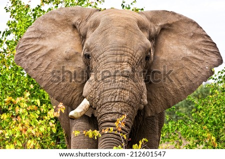 Gigantic male african elephant in the Kruger National Park, South Africa
