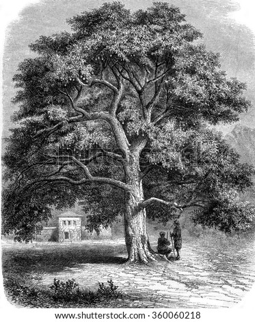 Gigantic sycamore to Canossa in Dalmatia, vintage engraved illustration. Magasin Pittoresque 1870.
