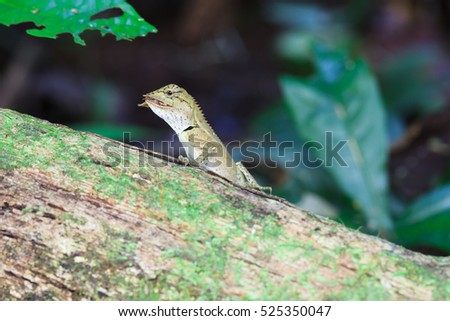 Gila, eating butterfly on wood in tropical forest Asia in Thailand. focus at eyes