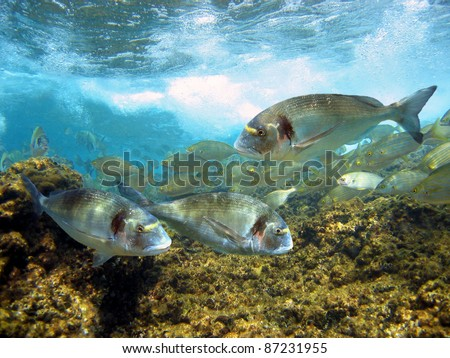 Gilt-head bream fish under surface in the marine reserve of Cerbere-Banyuls, Mediterranean sea, Cote Vermeille, Roussillon, France - stock photo