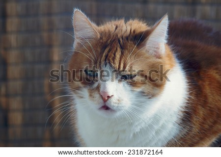 ginger and white, adult European cat