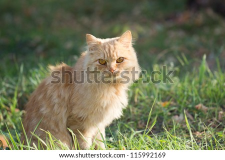 ginger cat in nature