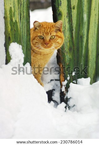 Ginger cat in winter. Cat in the snow hides behind an old wooden fence. - stock photo