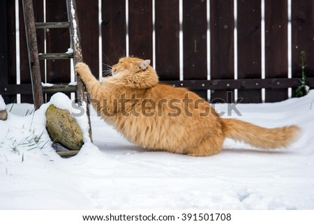 Ginger cat is stretching in winter - stock photo