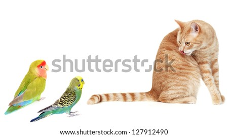 Ginger Cat isolated over white background. Animal portrait. - stock photo