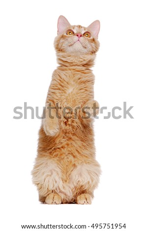 Ginger cat sitting on hind legs stretching up