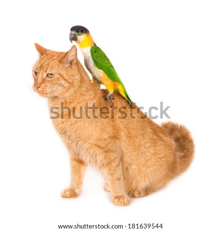 Ginger cat with a noble parrot (male) on his back, isolated on a light background  - stock photo