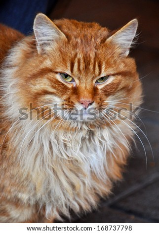 Ginger cat with huge fluffy muzzle. - stock photo