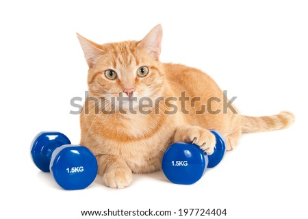 Ginger cat with two dumbbells of 1,5 kg, isolated on white - stock photo