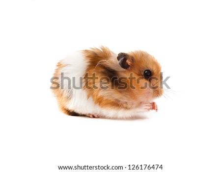 ginger hamster - stock photo