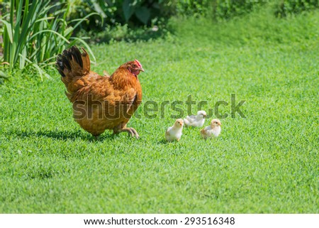 Ginger hen walks with young chickens on green grass outdoors - stock photo