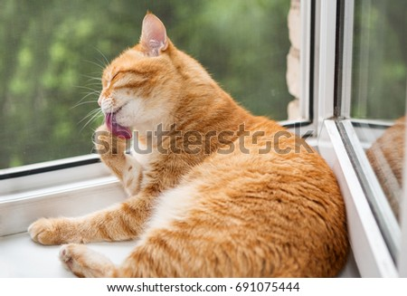 Ginger kitten washed a paw on the window