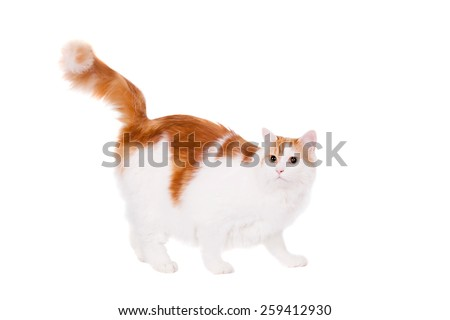 Ginger mixed breed cat isolated on white background - stock photo