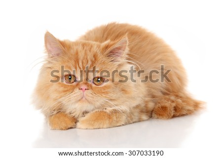 Ginger Persian cat posing on a white background