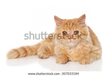 Ginger Persian kitten lying on a white background - stock photo