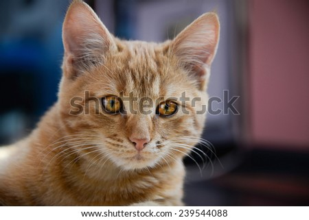 Ginger red cat with colorful yellow eyes close-up. - stock photo