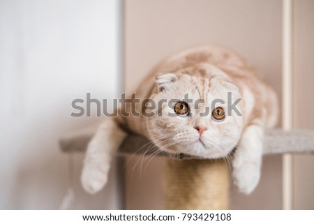 Ginger scottish fold cat lying and looking up