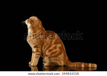 Ginger Scottish Fold Cat Sits and Looking up isolated on Black Background  - stock photo