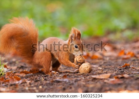 Ginger squirrel with nuts - stock photo