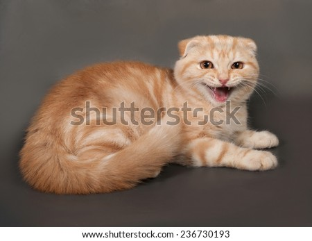 Ginger tabby cat Scottish Fold lies on gray background
