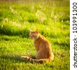 Ginger tabby cat sitting in grass on a warm summer evening - stock photo
