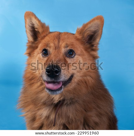 Ginger thick fluffy dog on blue background
