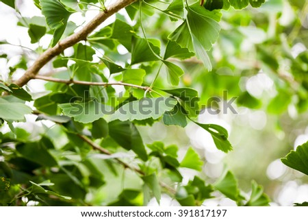 Gingko biloba - tree, leaves and details