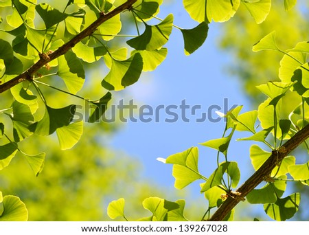Ginkgo Biloba, green leaf background - stock photo