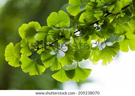Ginkgo biloba green leaves on a tree in Yonghe Lamasery, Beijing, China. - stock photo