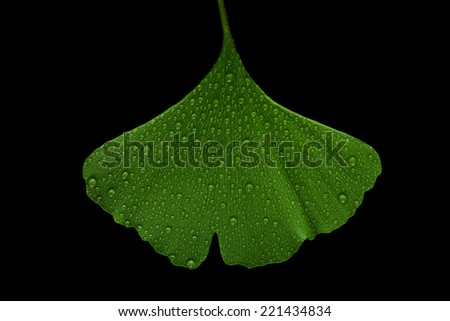ginkgo leaf - stock photo