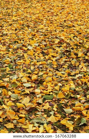 Ginkgo leaves background in nature - stock photo
