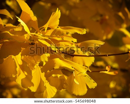 Ginkgo leaves on the tree with blurry background.