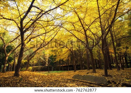Ginkgo trees in autumn park