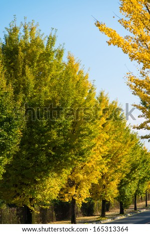 ginkgo trees on the way to become the yellow leaves - stock photo