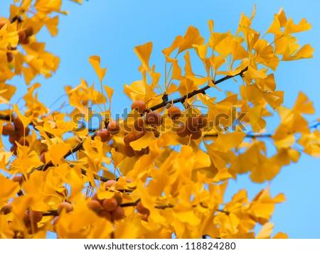 Ginko tree leaves in autumn - stock photo