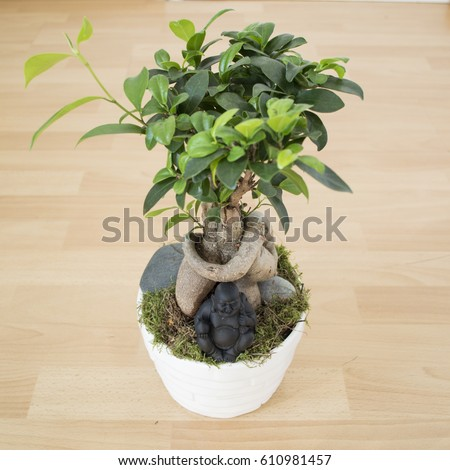 Ficus ginseng stock images royalty free images vectors shutterstock - Bonsai ficus ginseng entretien ...