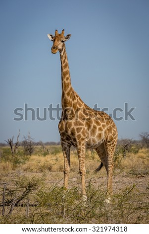 Girafe in northern Namibia, Africa - stock photo