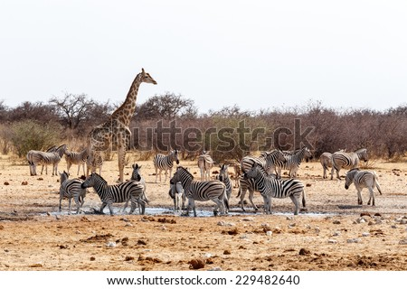 Giraffa camelopardalis and zebras drinking on waterhole in Etosha national Park, Ombika, Kunene, Namibia, true wildlife - stock photo