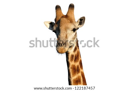 Giraffe , a close view of a giraffe on white background