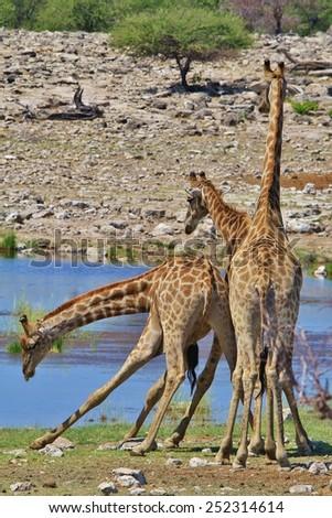 Giraffe - African Wildlife Background - Fight Club for Bulls - stock photo
