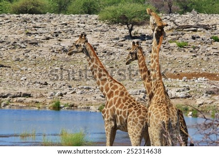 Giraffe - African Wildlife Background - Fight Club for Bulls