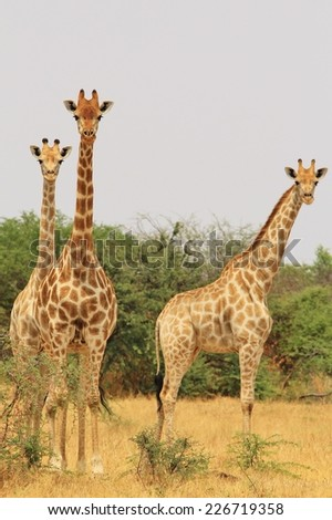 Giraffe - African Wildlife Background from Africa - Posture of Symmetry, Camouflage and Unique Beings - stock photo