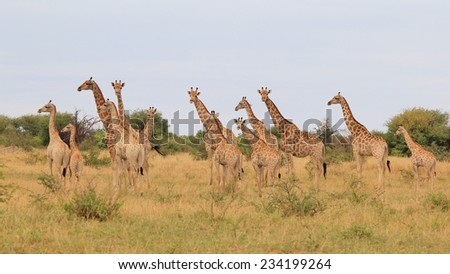 Giraffe - African Wildlife Background - Herd of Symmetry and Funny Nature - stock photo