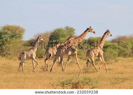 Giraffe - African Wildlife Background - Posture of an Iconic Animal - stock photo
