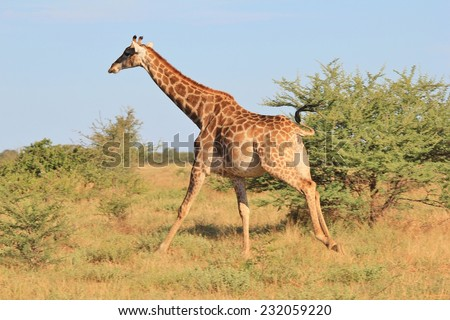 Giraffe - African Wildlife Background - Posture of an Iconic Animal, Full Speed Ahead - stock photo