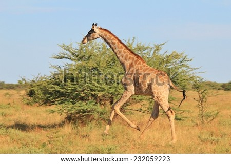 Giraffe - African Wildlife Background - Posture of an Iconic Animal loving Life
